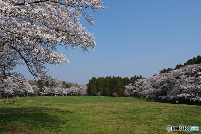 起伏が多い北総台地の地形を活かして造られた都市公園、泉自然公園は公園内の大半が東千葉近郊緑地特別保全地区に指定されている風光明媚な景色が広がる場所です。「日本さくら名所100選」に選定されている泉自然公園は、千葉県でも指折りの桜の名所です。