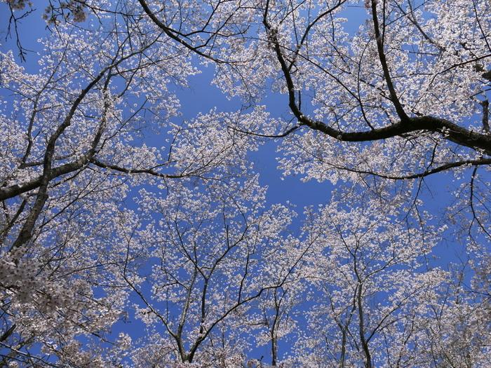 満開に咲き誇る桜の下に立って、空を見上げてみましょう。桜の花が青い空を覆いつくしており、まるで天女の羽衣を被ったかのような錯覚を感じます。