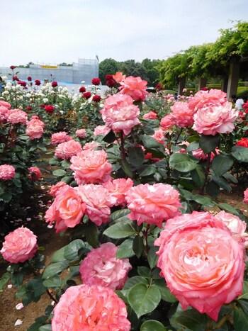 お花ごとに30ブロックに分かれており、ばら園が満開になる頃には「バラフェスタ」が行われ、一面のバラが咲き誇るお祭りを楽しむことが出来ます。