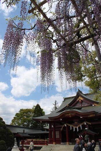 笠間を訪れるのなら、以下HPを参考にしてみましょう。  【GW頃の「笠間稲荷神社」境内。拝殿前の藤は、県の天然記念物にも指定されている樹齢約400年の『八重の藤』】