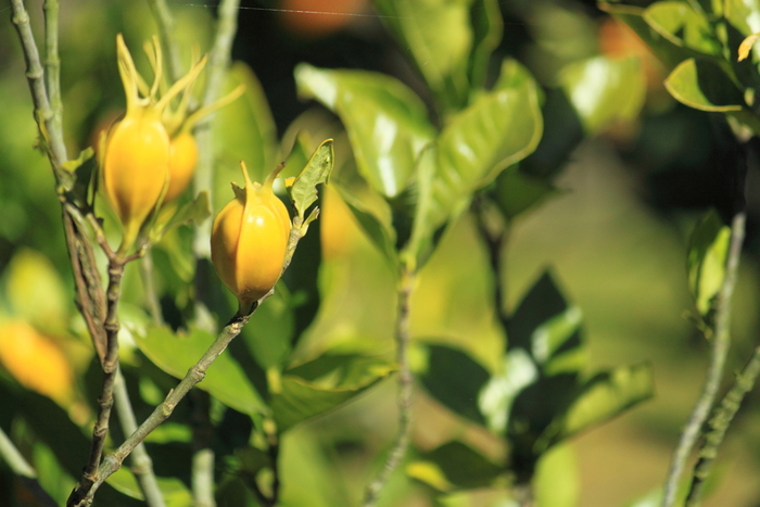 """乾燥させた果実は、""""黄""""の染料(クチナシ色素)として、繊維の染色をはじめ、たくあんや栗きんとんの着色に使われる一方、生薬としても知られています。"""