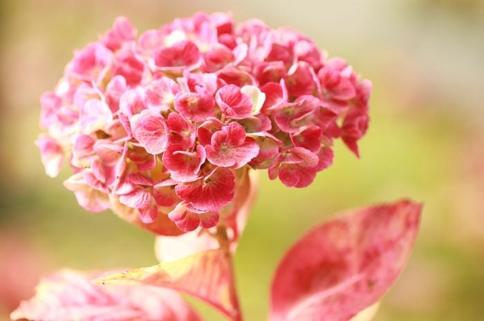"""あじさいの色は土壌のpHによって異なることはご存じのとおり。酸性土壌の多い日本ではブルーのあじさいが、ヨーロッパでもイタリアなどpH価が高い土壌では、ピンクや紫のあじさいが咲きます。ラテンの血を感じさせる花言葉""""元気な女性""""なら、迷わず同性のお友だちにプレゼントできそう♪"""
