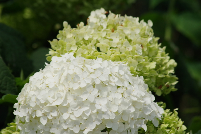 結婚式のブーケや会場の装花に使われることも多い白いあじさい。赤や青のあじさいが持つ色素・アントシアニンを含まないため、土の質に関係なく白いのだそう。優しく穏やかな雰囲気が漂います。