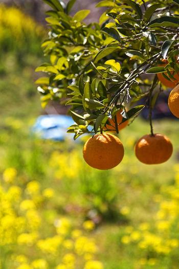 爽やかな香りを持つ伊予柑(いよかん)。縁起がいい理由は、語呂から「いい予感」、また橙色から「代々、家系が栄える」とされるため。 酸味・甘味のバランスが良く、旬を迎える1月~2月がちょうど食べごろです。熟した美味しさを味わってみてください。