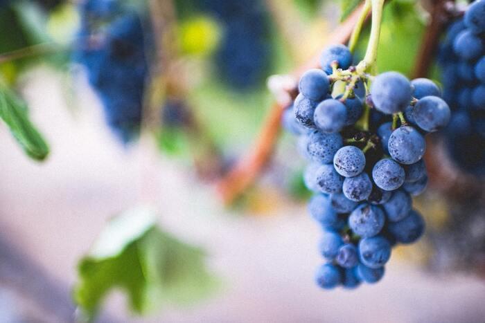 ひと房にたくさんの実が成るブドウは、子孫繁栄や多産を意味する縁起物。ツルが伸びる様子から、たくましい生命力の象徴ともされています。 海外でも、ブドウは幸せを招く果実だと信じられている国は多く、スペインでは年越しのカウントダウンに新年の福を願って12粒のブドウを食べる習慣があります。