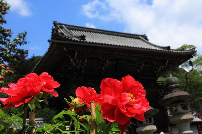 古くから「花の御寺」と異名を持つほど四季折々で美しい花々を咲かせることで有名な長谷寺は、牡丹の名所でもある初瀬山中腹に建立された真言宗の寺院です。