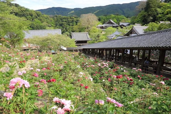 長谷寺では、毎年4月下旬から5月上旬にかけて約150種類、7000株におよぶ牡丹が開花します。色とりどりの牡丹の花は、山間部に佇む古刹の春に彩りを与えています。