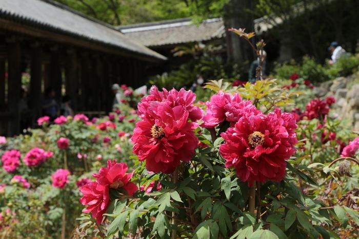 大輪の花を咲かせる牡丹は、「百花の王」と称されるに相応しく凛とした風情があります。その一方で、牡丹は、洗練された優美な美しさをも持っており、美しい女性を形容するのに相応しい姿をしています。