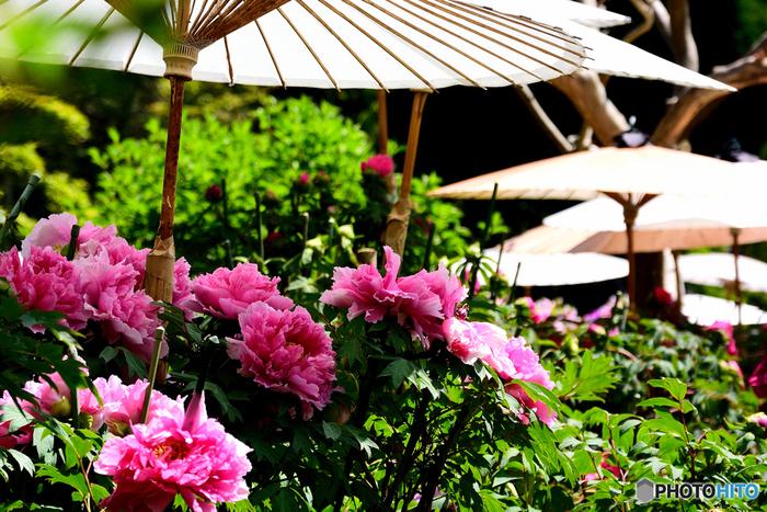 當麻寺塔頭・中之坊の境内には約1200株の牡丹が栽培されており、毎年4月下旬から5月上旬にかけて見ごろを迎えます。白い和傘と大輪の花を咲かせた牡丹が織りなす景色は、まるで一枚の掛け軸のような素晴らしさです。
