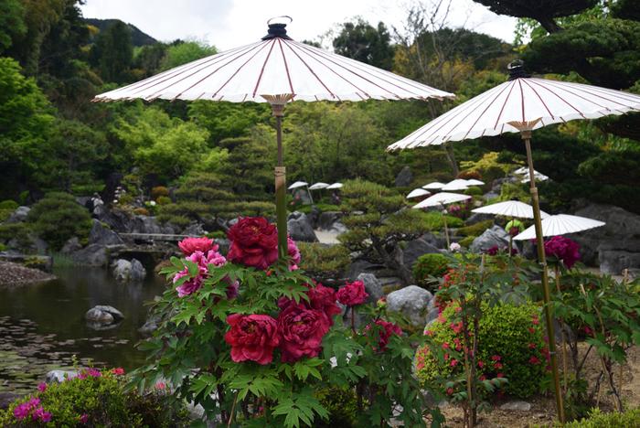 當麻寺塔頭・奥院には、極楽浄土をイメージした浄土庭園があります。浄土庭園を背景に、色鮮やかな牡丹が満開に花を咲かせている様は、まるで一枚の日本画のようです。
