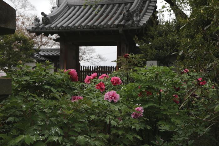 石光寺は、修験道の開祖者である役小角によって飛鳥時代後期に創建された奈良時代でも有数の古刹です。関西花の寺第二十五霊場20番になっている石光寺は牡丹で有名なほか、芍薬、アジサイ、桜、サルスベリなどが栽培されており、四季折々で美しい花々を鑑賞することができます。