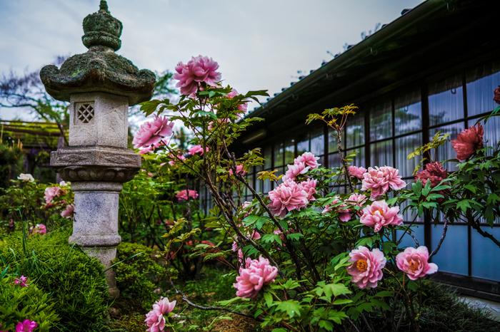 競うように花を咲かせる牡丹は、和の佇まいをした寺院庭園風景とよく調和しており、どこを切り取っても絵になります。