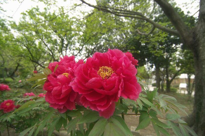 尼崎農業公園は、尼崎市が運営・管理をしている植物園です。公園内にはボタン園があり、直径約20センチメートル近い大輪の豪華な花が開花します。尼崎農業公園で栽培されている牡丹の数は約600株におよびます。