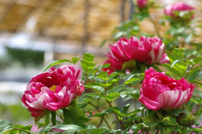 薬師院で咲いている牡丹は、一輪の花に2色が混在している珍しい品種もあります。様々な品種の牡丹が咲いているので、一輪一輪ずつその違いを見比べながら鑑賞するのもおすすめですよ。