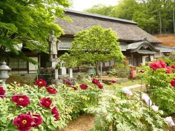 「ぼたん寺萬勝院」として地元の人々に「牡丹の名所」として親しまれている萬勝院では、約100品種、1000株の牡丹が栽培されており、最盛期には8000輪もの花が咲き乱れています。