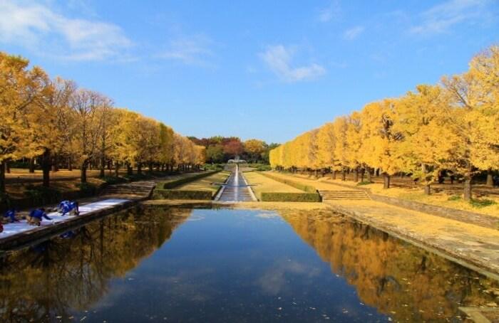 国営昭和記念公園では一年中様々なイベントが開かれており、特に美しい銀杏並木や日本庭園の紅葉などが楽しめるお祭りは大変人気です。ライトアップされた銀杏並木は、「黄金のトンネル」とされ大変美しい光景を楽しめますよ。