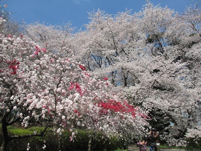 東京都世田谷区に広がる自然豊かな公園です。東急田園都市線「用賀」から徒歩20分ほどにある公園には、青々とした芝生が敷き詰められており、お散歩やピクニックに人気のスポットです。春には約930本の桜が咲き誇り、大きな木が多いことから目線の高さで咲く桜を楽しめますよ。