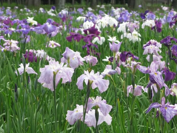 都内最大のはなしょうぶ園には約100品種、20万本もの花菖蒲が植えられており6月の見ごろになると葛飾菖蒲まつりなどのイベントも開かれます。