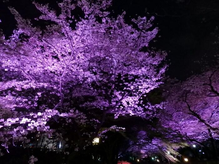 近年はソメイヨシノが満開になる季節や紅葉が美しい時期にライトアップがされ、昼間とはまた違った幻想的な風景でも楽しませてくれています。