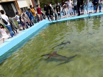 大迫力の25mプールはまるまるサメの水槽になっています。こんなに間近で観察することができるのも、廃校水族館ならでは。子供だけでなく、かつて子供だった大人たちからもはしゃぐ声が聞こえてきます。