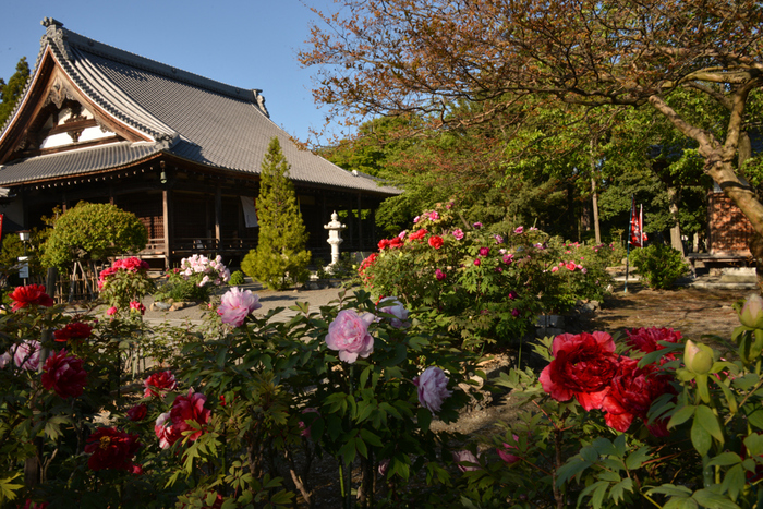 約2万平方メートルにおよぶ広大な境内には、約80種類1000株の牡丹が栽培されています。毎年4月下旬から5月上旬にかけて次々と牡丹が開花し、風情ある寺院境内の風景に彩を与えています。