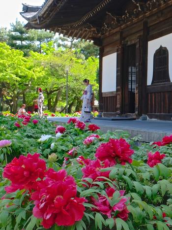 京都市内でも指折りの人気観光地でもある建仁寺では、運がよければ、艶やかな着物姿の観光客女性の姿を見かけることができます。洗練された優美な美しさを持つ牡丹の花と、着物姿の女性はよく調和しており、まるで一枚の絵画を眺めているような気分を覚えます。