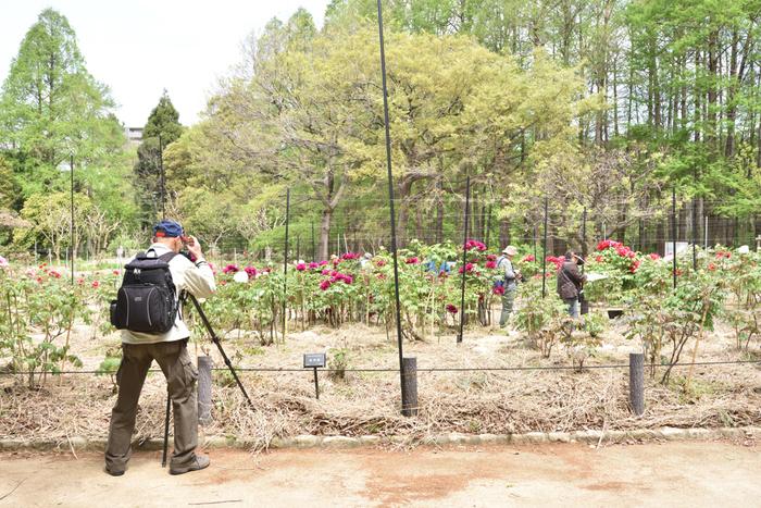 長居植物園は、総面積24.2ヘクタールという広大な敷地面積を持つ植物園で大阪市が運営・管理をしています。約1200種類もの植物が栽培されている長居植物園では、580平方メートルの大花壇、ツバキ園、ボタン園、バラ園、ハナショウブ園、アジサイ園、ハーブ園などがあり、四季折々で美しい花々を鑑賞することができます。
