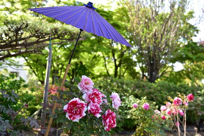 大仙公園・日本庭園では様々な品種の牡丹が栽培されています。よくみると、一輪の花に2色の花びらを持つ珍しい品種の牡丹も栽培されているので、じっくりと牡丹鑑賞を楽しんでみてはいかがでしょうか。