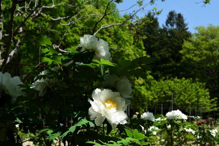 ボタン園では、毎年4月中旬から4月下旬にかけて大輪の花を咲かせ、見ごろを迎え、鑑賞者を魅了してやみません。
