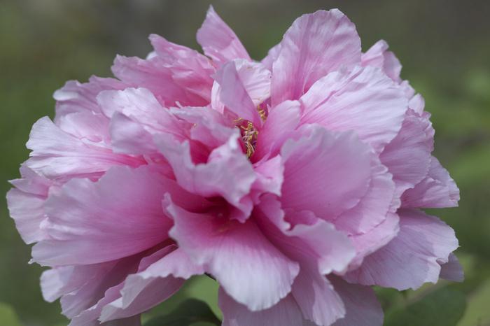 爽やかな春空と百花の王に魅せられて…牡丹の名所6選【滋賀県・京都府・大阪府編】