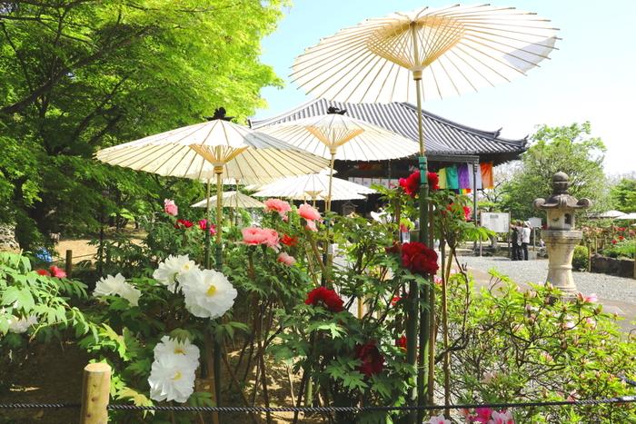 爽やかな春空、大輪の花を咲かせた牡丹、白い和傘、和の佇まいをした寺院庭園が織りなす景色はどこを切り取っても絵になり、カメラに収められずにはいられないほどです。