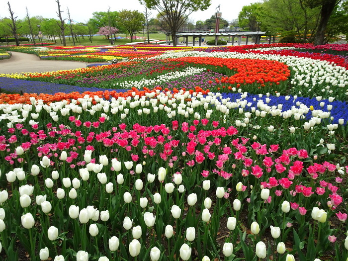 木曽三川公園は、東海地方を悠然と流れる木曽三川(木曽川、長良川、揖斐川)の下流域一帯に広がる国営公園です。公園内の木曽三川公園センターでは、春、夏、秋を彩る花々が栽培されている大花壇があり、春になるとチューリップが見ごろを迎えます。