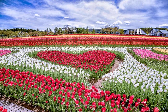 """ひるがの高原・牧歌の里では、23種類、約20万本のチューリップが栽培されています。なだらかな丘陵地帯を活かした花壇に、チューリップの花で巨大なハートの形が現れる姿は可愛らしく、まるで童謡""""チューリップの花""""の世界に迷い込んだかのような気分を覚えます。"""