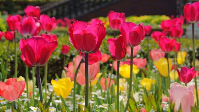 赤、黄色、ピンクなど色とりどりの花びら、垂直に伸びた緑色の茎をした可愛らしいチューリップの花々が咲き誇るお花畑を眺めていると、まるでメルヘンの世界に迷い込んだような錯覚を感じます。