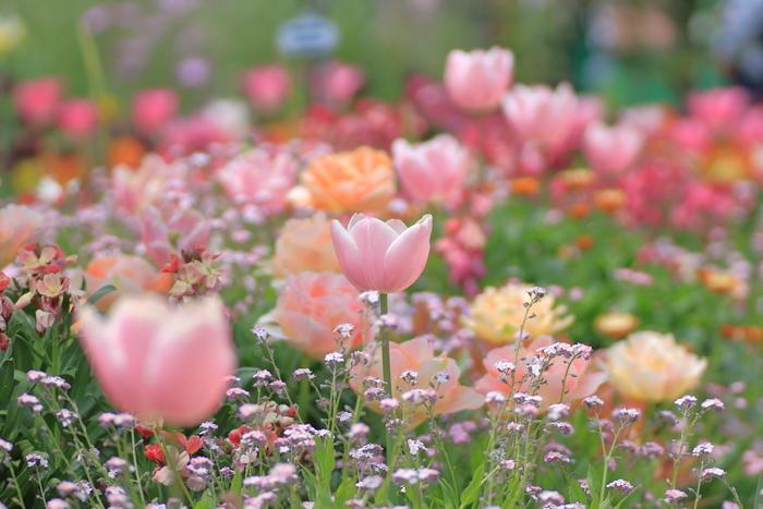 浜名湖ガーデンパークは、静岡県が運営・管理を行っている総面積56ヘクタールにおよぶ県営公園です。ガーデンパーク内の花の美術館では約150品種、1万本のチューリップが栽培されています。