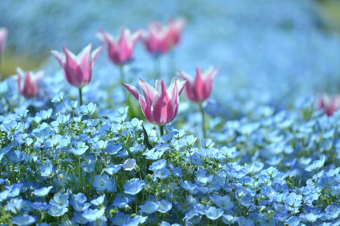 浜名湖ガーデンパークでは、チューリップとほかの花との寄せ植えも行われています。水色をしたネモフィラが一面に咲き誇る花壇に、ピンク色をしたチューリップが高く背を伸ばしている様は可憐で、カメラに収められずにはいられないほどの美しさです。