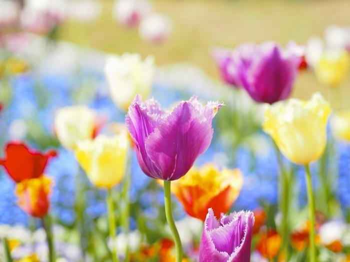 色とりどりの花びらをしたチューリップが美しさを競い合うように咲き誇っている様は、春の訪れを私たちに告げているかのようです。