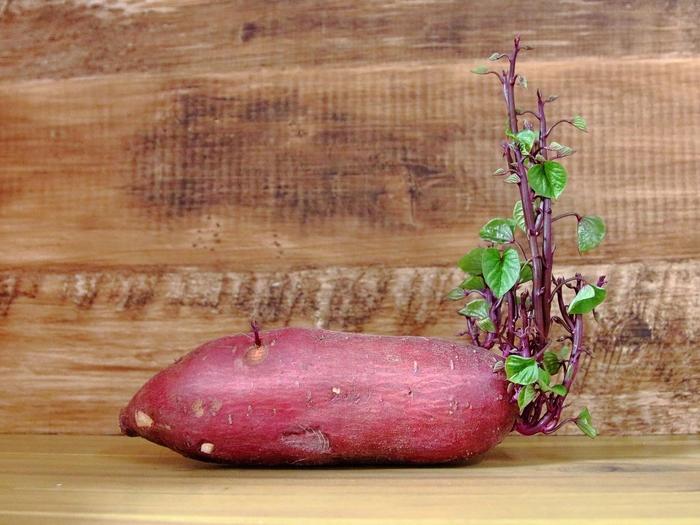 さつまいもの芽をヘタごとカットして、水を張った容器につけて育てると、観葉植物として楽しむこともできます。