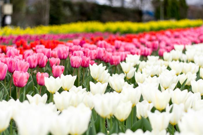 約200種類のハーブと季節の花々が咲き誇る「季節の花壇」では、毎年春になると色とりどりのチューリップが開花し、春の甲州市に彩りを与えています。