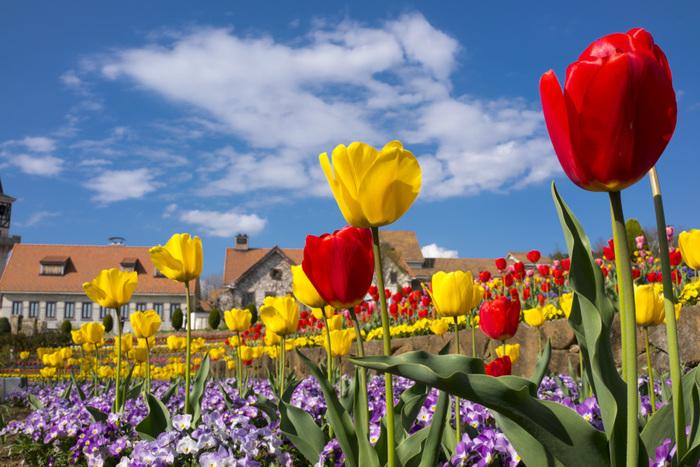 スイスの山間部に位置しているハイジの村が舞台となった町、マイエンフェルトの町並みを連想させるハイジの村では、毎年4月中旬から5月上旬にかけてチューリップの花が次々と開花し、見ごろを迎えます。