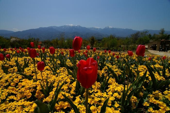 遠くに見える冠雪した険しい山々、色鮮やかに咲いているチューリップ、チューリップの美しさを引き立てている花壇に寄せ植えされている花が融和した景色を眺めていると、私たちが思い描く、童話「アルプスの少女ハイジ」の世界に入り込んだような気分を覚えます。