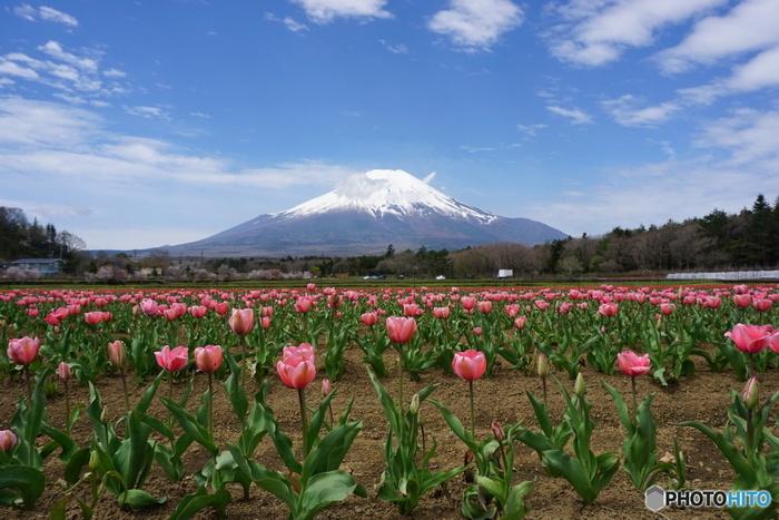 山中湖花の都公園は、富士山麓に位置する山中湖畔にある広大な植物園です。毎年4月下旬から5月上旬ごろにかけて約15万本のチューリップが開花し、冠雪した富士山を背景に風光明媚な景色を堪能することができます。