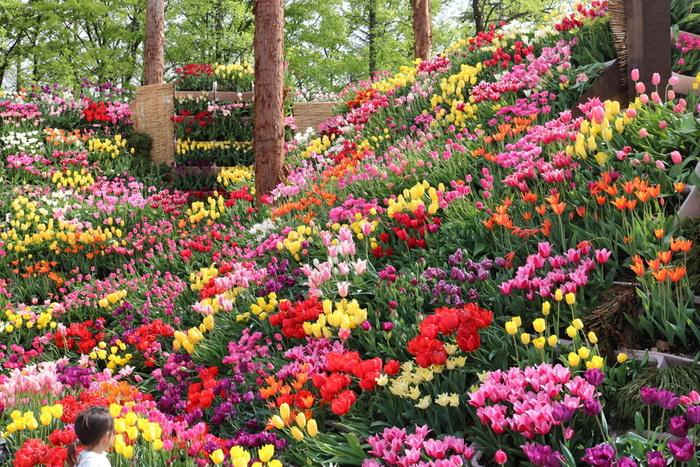 """毎年チューリップが見ごろを迎える4月下旬から5月上旬にかけて砺波チューリップ公園では、砺波市、砺波市花と緑と文化の財団、砺波市観光協会が主催する""""となみチューリップフェア""""が開催されます。"""