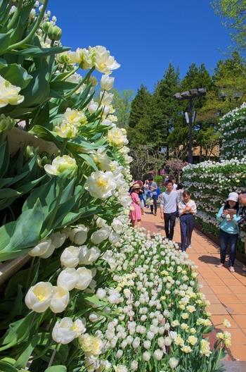 となみチューリップフェアでは様々な見どころがあります。中でも富山県屈指の景勝地でもある立山黒部アルペンルートの「雪の大谷」をイメージしたチューリップでできた「花の大谷」は、圧巻です。高さ4メートル、長さ30メートルのチューリップ回廊を歩いていると、まるで童話の世界に入り込んだかのような気分を味わうことができます。