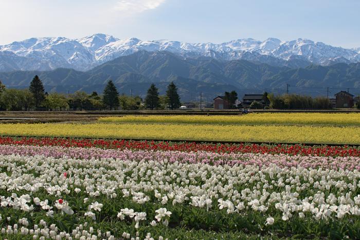 にゅうぜんフラワーロードは、入善市の特産物でもあるチューリップを道路沿いの水田に栽培して鑑賞してもらうために始まったイベントです。春でも冠雪した北アルプスを背景に約220万本の色とりどりのチューリップが開花する様は、まさに絶景そのものです。