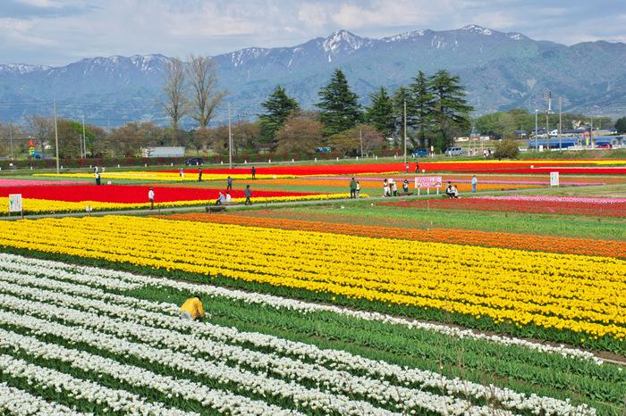 チューリップの産地として有名な新潟県五泉市では、チューリップを出荷するだけでなく、人々に鑑賞を楽しんでもらうために、市が生産者に依頼してチューリップまつりを開催しています。