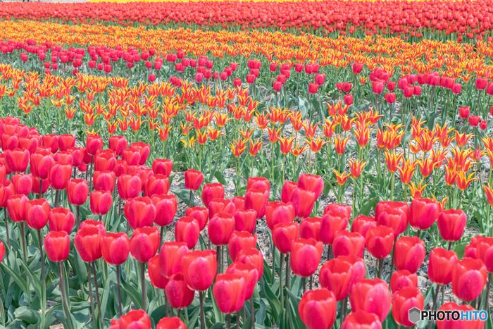 五泉のチューリップまつりで栽培されているチューリップの本数は、なんと150万本にもおよびます。赤、オレンジ、黄色など色とりどりのチューリップが競うように開花しているのは壮観です。