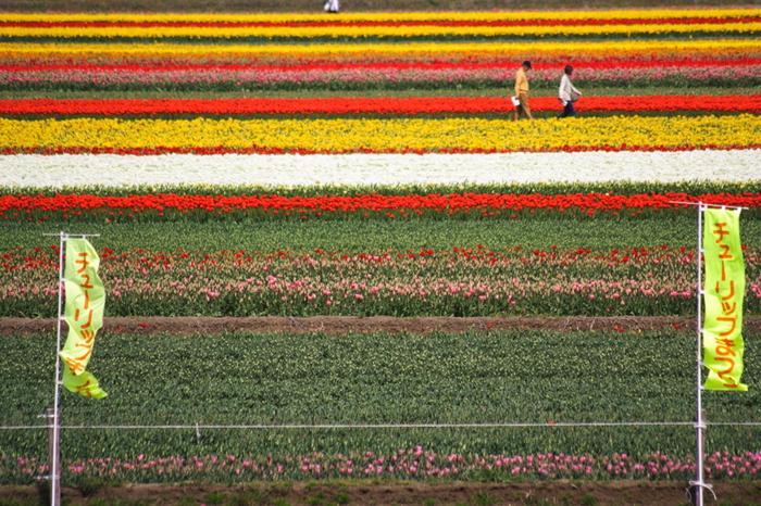 五泉のチューリップまつりを訪れたら、少し離れた場所からチューリップ畑を遠望してみましょう。まるで大地に、赤、白、黄色といったカラフルな絨毯を敷き詰めたような風景を臨むことができます。