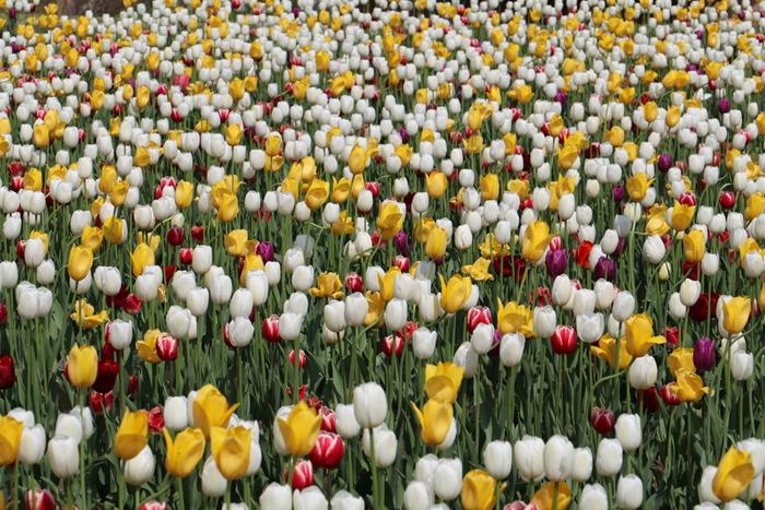 赤、白、黄色のチューリップの花々が一斉に開花している様を眺めていると、まるで童謡「さいた~、さいた~、チューリップの花が♪」の世界に入り込んだような錯覚を感じます。