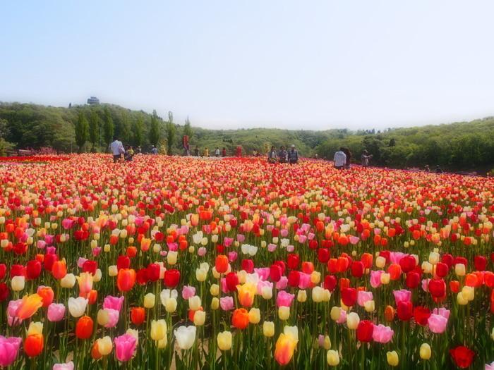 """越後丘陵公園は、長岡ニュータウン近郊のなだらかな傾斜に造られた約400ヘクタールの敷地を誇る広大な国営公園です。公園内には、約3000平方メートルの「花の丘」があり、毎年春になると、""""新潟県の花""""であるチューリップが一斉に彩ります。"""